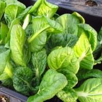 葉物野菜もリレー収穫