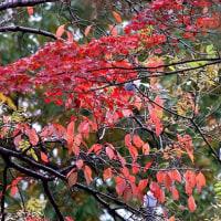 紅葉とオナガ