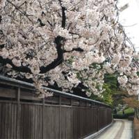 新潟市内の桜も満開