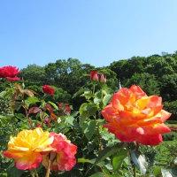紫陽花が咲く下田へ