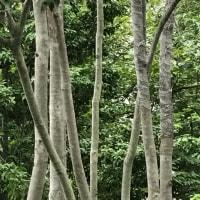 ソヨゴ 樹皮