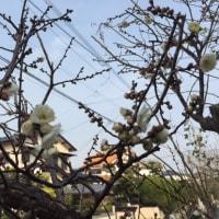 梅、咲いています。