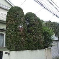 庭師の見事なハサミさばきと、丸裸にされたわが家