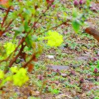 びわ湖の珍鳥