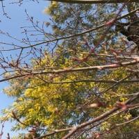 アンデルセン公園 ミモザの季節