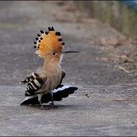 珍鳥 ヤツガシラ