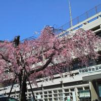 今年の桜、満開!