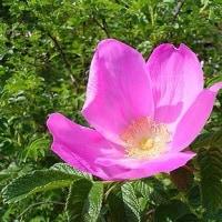 季節の花「浜梨 (はまなす)」