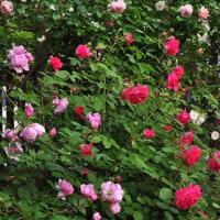 たくさん咲いた サー・ジョン・ベッジャマン