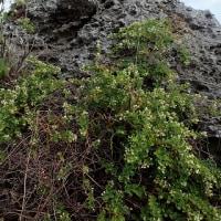 沖永良部島の植物:ヒメクマヤナギ