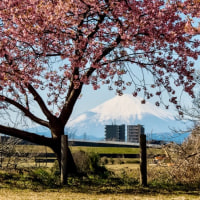 21/Feb 名残の月と土星と木星、河津桜とメジロと富士山