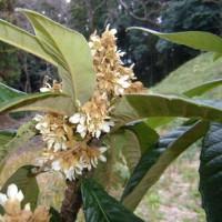 「おはようの花」 ビワ(枇杷)12月
