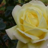 秋バラ その16