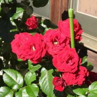 6日の薔薇