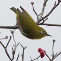 フリー素材 : 野鳥 ・ 翡翠  於大公園のメジロ