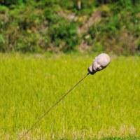 稲刈りが終わった田んぼに飾ってあったマネキンの首  (Photo No.13858)