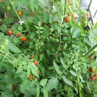第4154弾・我が家のトマト