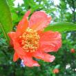 季節の花「石榴 (ざくろ)」