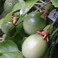 パッションフルーツ秋の実