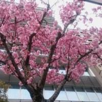 陽光桜??咲き始めました