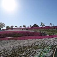 おおた芝桜*ポピーまつり2017二日目
