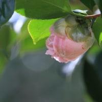 ●金沢 天神町緑地の椿 椿原天満宮の紅梅など