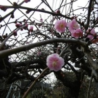 鹿児島県郵便局訪問 NO.3 霧島市 梅の花が咲いていました。坂本竜馬とお龍さんが歩いた道も歩きました