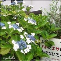☆ やっと髪カットしました~✌ 雨の中の紫陽花(^▽^)/