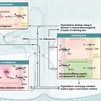 総説 糖尿病による電解質異常のメカニズム
