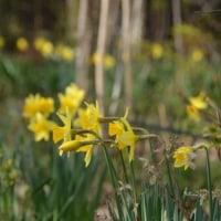 黄色いラッパ水仙 一斉開花