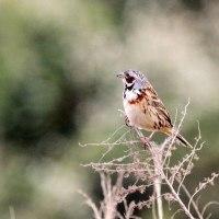4/24探鳥記録写真(響灘ビオトープの鳥たち:ホオアカ、セッカ、タカブシギ、ウズラシギ他)