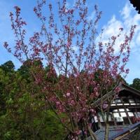 八重桜は五分咲き