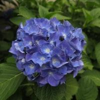 植物の漢字 紫陽花