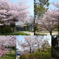 満開の桜を求めて (朝日ビール迎賓館、片山神社、紫金山公園の桜)