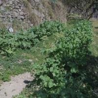 菜の花収穫