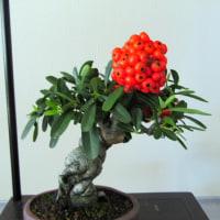小鉢の植木展