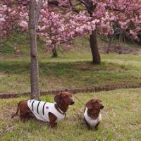 いや~、見事な桜です