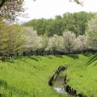 埼玉県上尾市にある上尾丸山公園の疏水近くでモズを観察しました