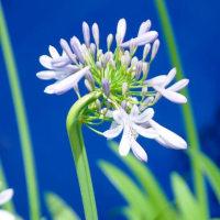 季節の花  アガバンサス