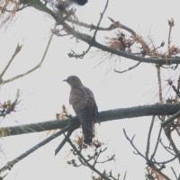 松林に居たのは、赤色型ツツドリだった。