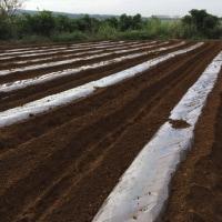 トウモロコシの栽培#トウモロコシ