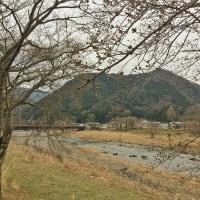 今年の上石津牧田川堤の桜