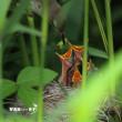 葦の揺り篭・・・オオヨシキリ