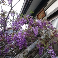 藤の花と筍料理の巻
