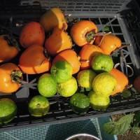 お駄賃で頂いた?(笑) 渋柿と柚子! 早速、吊るし柿にしてみました。
