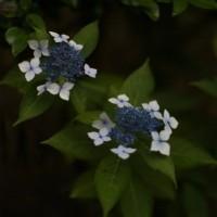 ゴルフコンペ(銀友会)と紫陽花