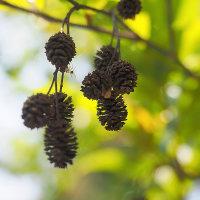 ★ネジキの花・ヤシャブシの実など 2017