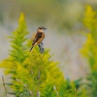 今日の野鳥  ノビタキ・ホオジロ