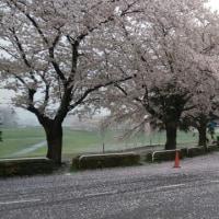 桜満開 から