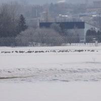 雪の上で 休む渡り鳥。